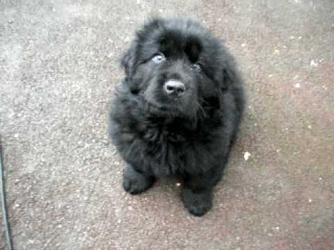 Baloo the Newfie Pup learning to sit