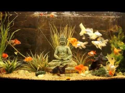 Category cold water aquarium fish for Cold water fish tanks