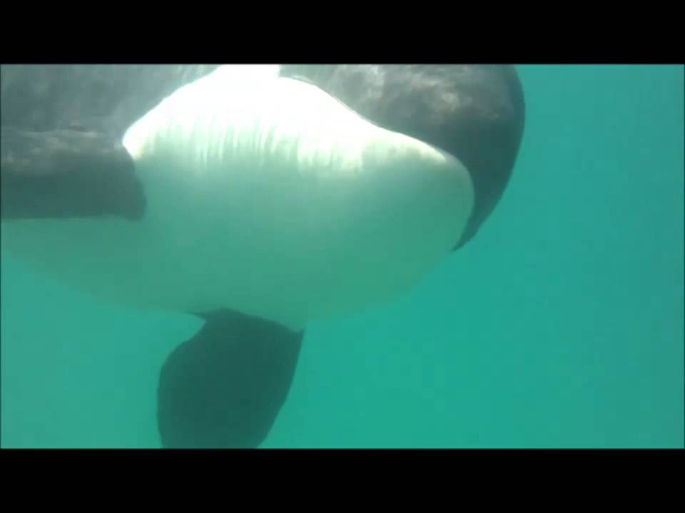 Killer whales in captivity vs wild - photo#26
