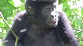 Gorilla Trekking   Uganda | Safari booking Tour and travel +25675620001 infinity pearls U ltd