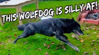 download lagu This Wolfdog Is Silly Af gratis