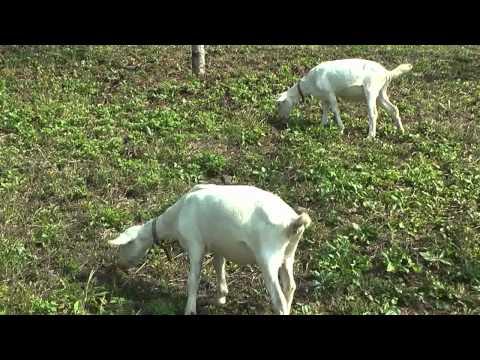 美濃加茂市 「さくら広場」 ~山羊による除草作業~