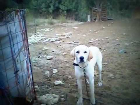Κρήτη - Ελληνικός Ποιμενικός (τσοπανόσκυλο)