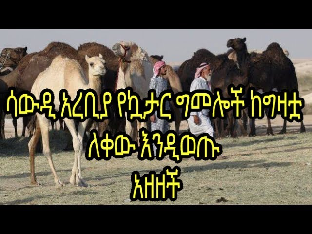 ETHIOPIA -QATARI CAMELS DEPORTED FROM SAUDI ARABIA AS DIPLOMATIC SPAT DEEPENS IN THE GULf