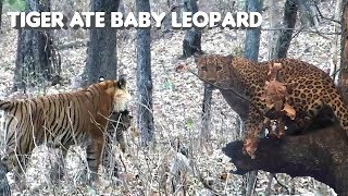 Tiger Killed and Ate Baby Leopard