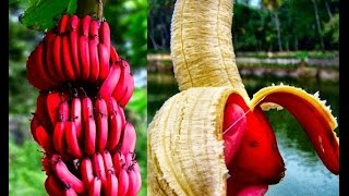 6 Top Health & Nutritional Benefits Of Red Banana For Babies, Fertility & Pregnancy