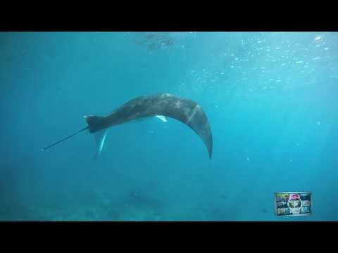 ~Manta Rays~ Diving with Manta Rays in The Maldives ...Watch !!