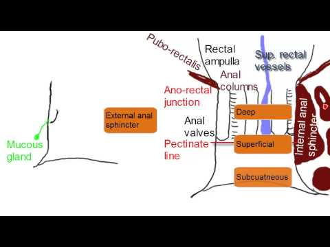 Anal Canal - Simplified Anatomy video