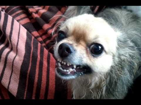 ferocious chihuahua after his bath yikes   youtube