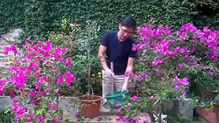 Chia sẻ Cách chăm sóc hoa giấy ra hoa quanh năm