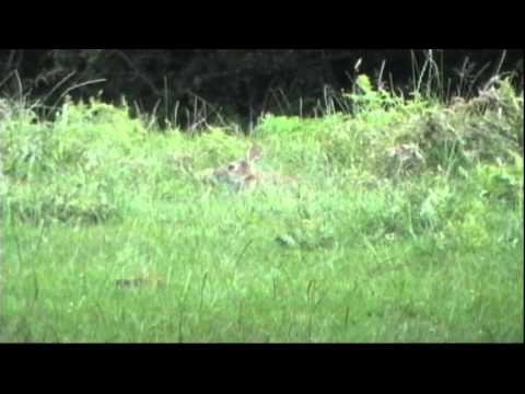 Rabbit hunting with a CZ-452 rifle