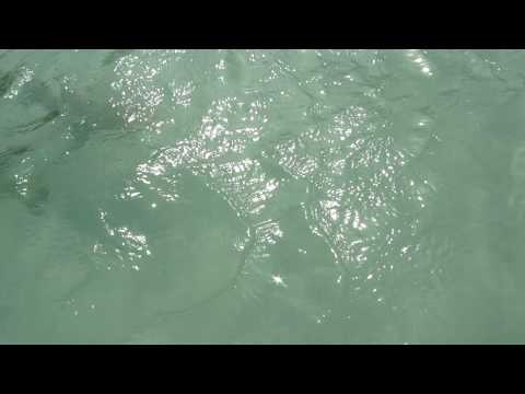 Baby shark, palm Island, Aruba Video