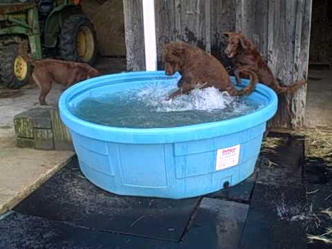 Whiskey creek chesapeakes having fun in their doggy pool for How to make a pool out of a stock tank