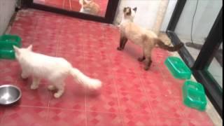 Cara Merawat Kucing Persia Untuk Pemula