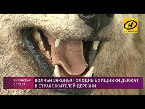 Жителей деревни Газьба несколько месяцев держат в страхе волки