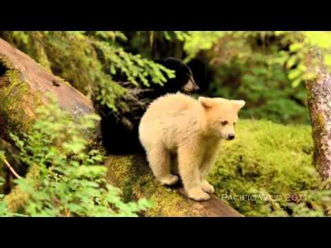 Spirit Bear Cub In The Great Bear Rainforest Youtube