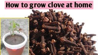 clove plant Spices of India   கிராம்பில் உள்ள மகத்துவம்   Latest Health News Tamil   Tamil News