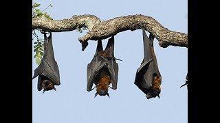 Chùa Dơi - Sóc Trăng ( Loài dơi khổng lồ tại chùa Dơi - Sóc Trăng, Biggest Bat in Viet Nam )