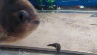trying!!!!  to feed my piranha LEECHES !!!!!!