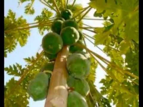 52 benefícios da papaia (portuguese) youtube