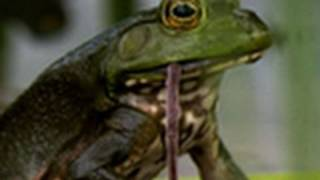 Bullfrogs Eat Everything | National Geographic