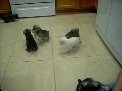 Miniature schnauzer puppies forsale in ohio