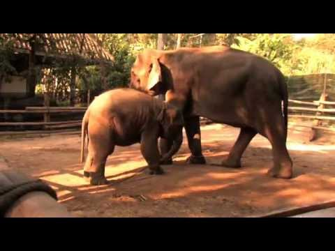 The Last Elephants In Thailand