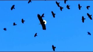 Bald Eagle Attacked By Flock (Murder) of Crows