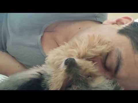 Yorkie pets his human