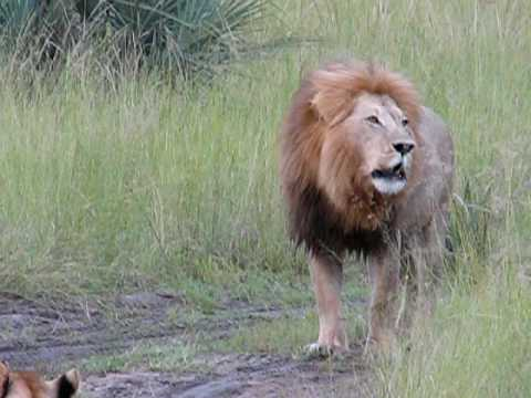Lion And His Cubs Roaring video