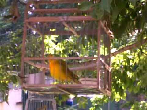 canarios cantadores