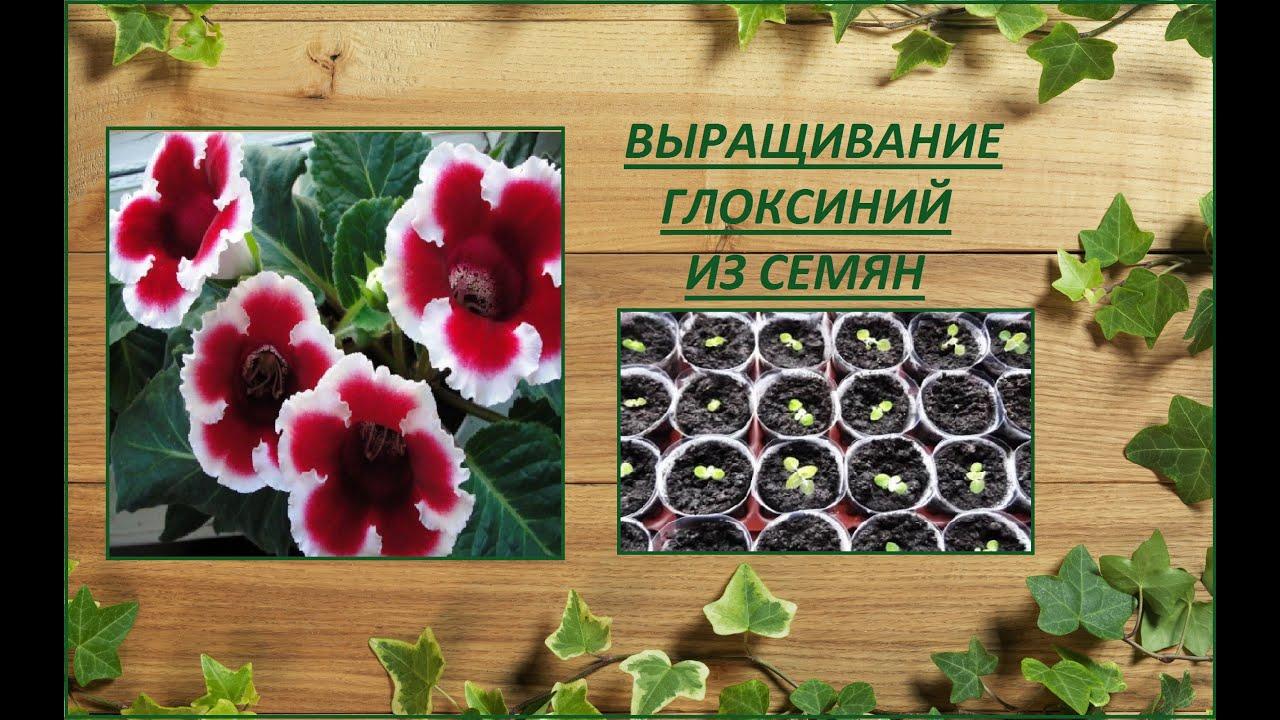 Вырастить глоксинию из семян в домашних условиях
