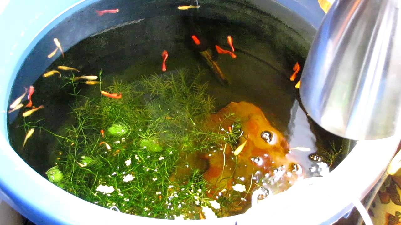 how to get male guppy fry