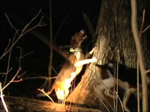 Raccoon Hunting in North Carolina