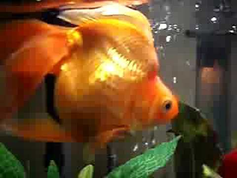 Fat fancy gold fish youtube for Cholesterol in fish