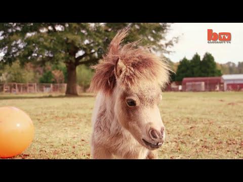 Miniature Horse Is Becoming An Internet Star