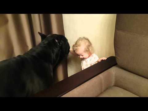 Cane corso Balder and a little girl ❤️ Кане корсо Бальдер и малышка