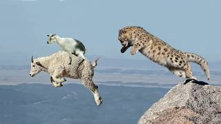 Mother Mountain Goat Protect Her Baby From Snow Leopard Hunting, Animals Hunt Fail