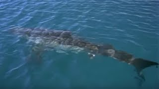 Great White Shark Spotted In Britain?   Sharks   BBC Earth