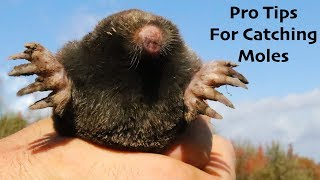 Pro Tips For Catching More Moles:  Will Wild Animals Eat Moles?  Mousetrap Monday