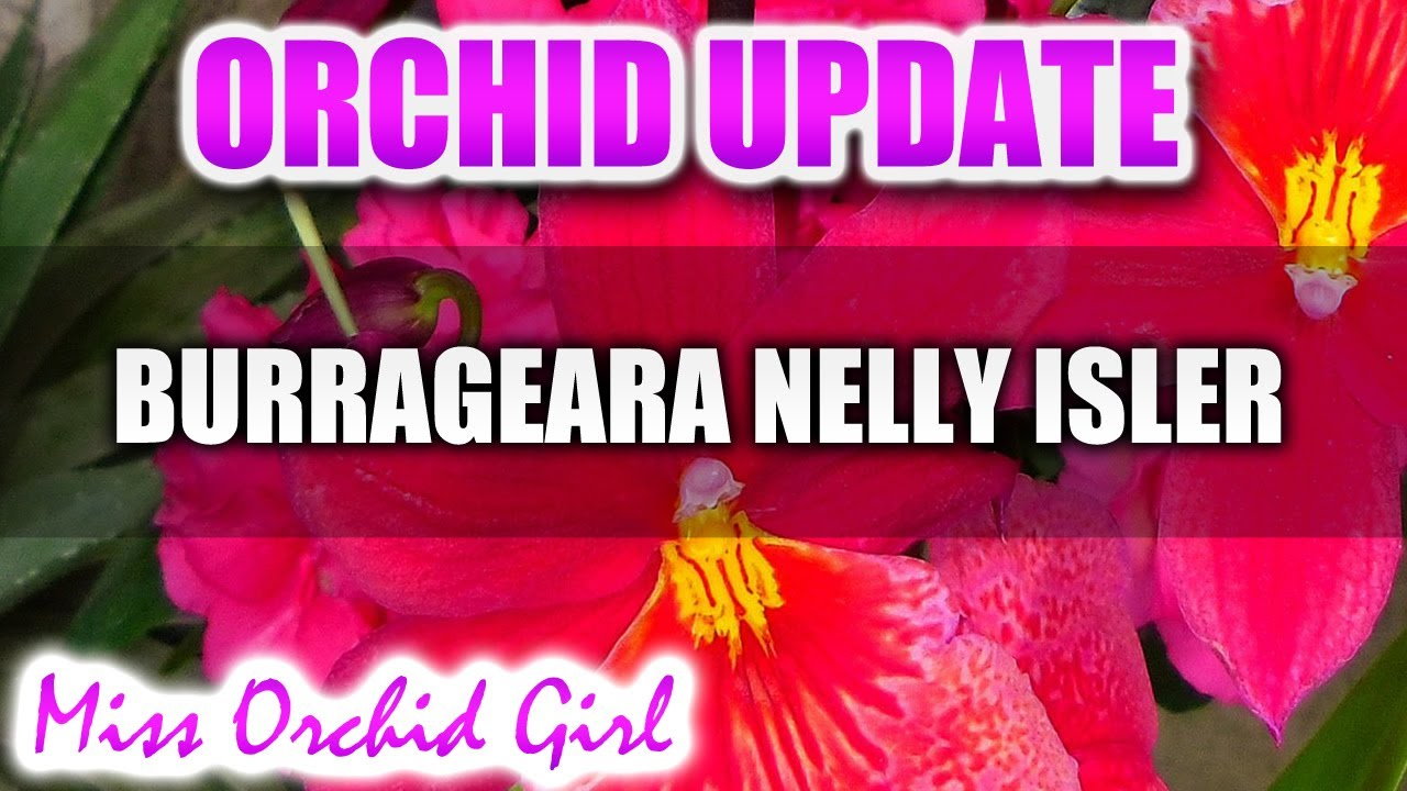 orchid update burrageara nelly isler orchid reblooming youtube. Black Bedroom Furniture Sets. Home Design Ideas