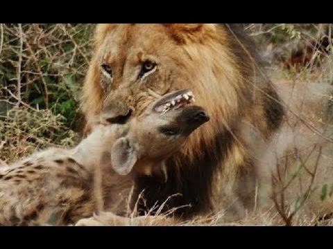 Leopardo vs tigre yahoo dating