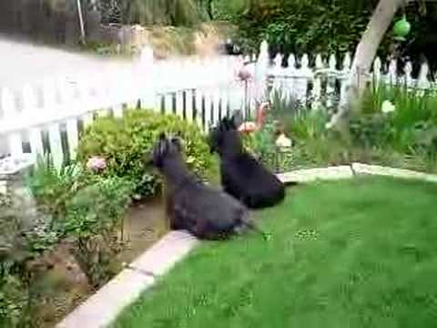 Scottish Terrier Baily & Riley in yard