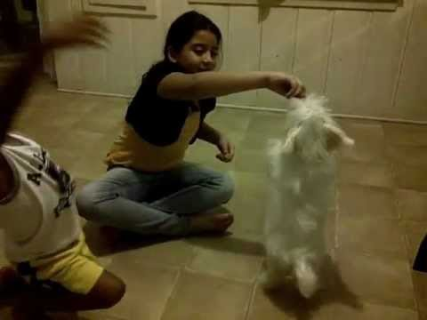 ██ white shih tzu maltese puppy playing tricks ██