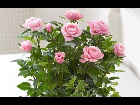 Черенкуем розы – 10 главных моментов