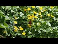 Живой звук природы бабочки и цветы mp3