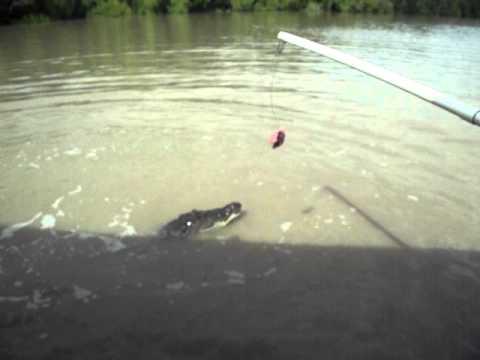 Jumping Crocodile Adelaide River-Kakadu NP-Australia