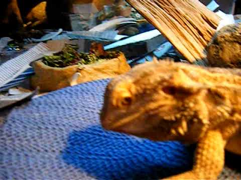 feeding blueberries to my bearded dragons (spike and ...