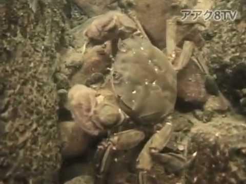 アアク8TV水中映像 ×Goovie 岐阜県の河川に暮らすエビとカニ