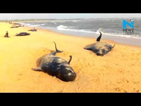 45 whales dead, 36 rescued on Tuticorin beach in Tamil Nadu